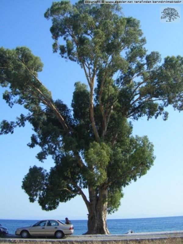 Muğla Milas ören Sahilindeki Ağaç