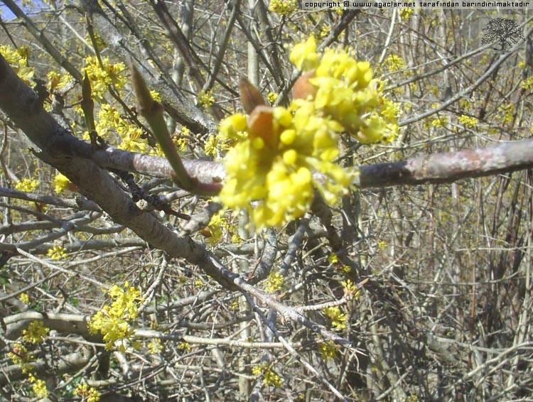 Kızılcık-Çiçek