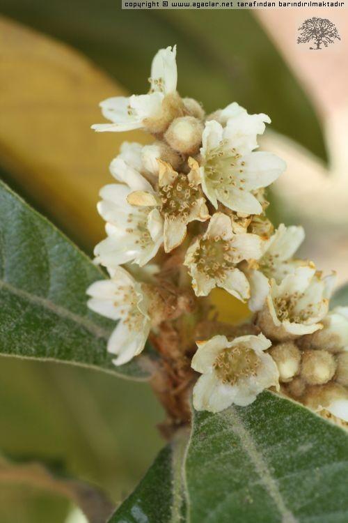 Malta Eriği Çiçeği