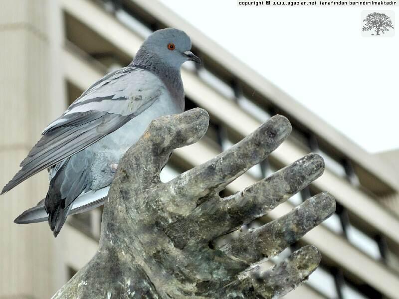 Küçük Güvercin