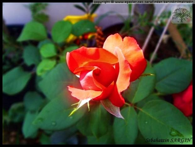 Gül (Rosea sp.)