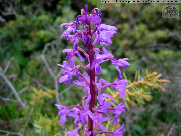 Salep - Orchis maculata