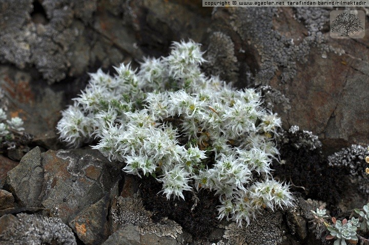 Paronychia sp.