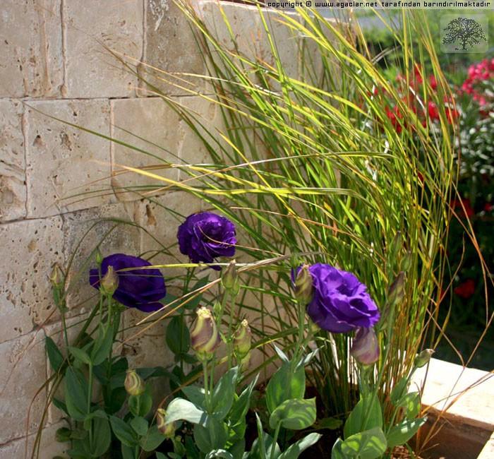 Lisianthus Ve Kırmızı Yapraklı Saz