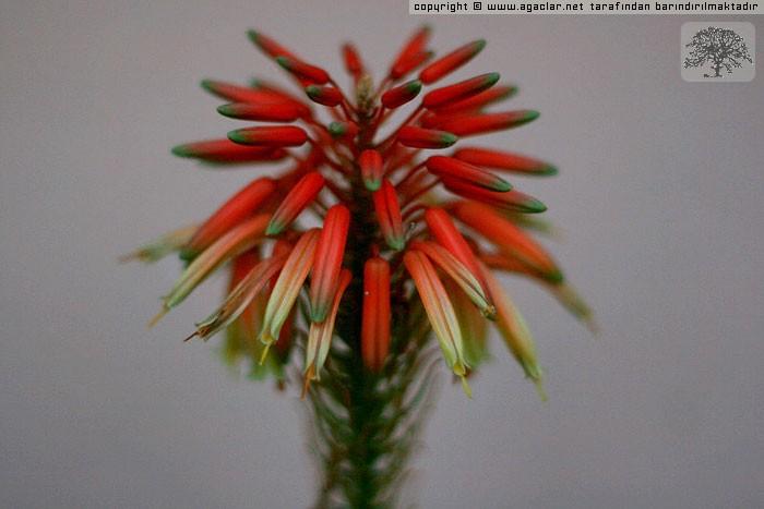 Aloe Vera (sarısabır)