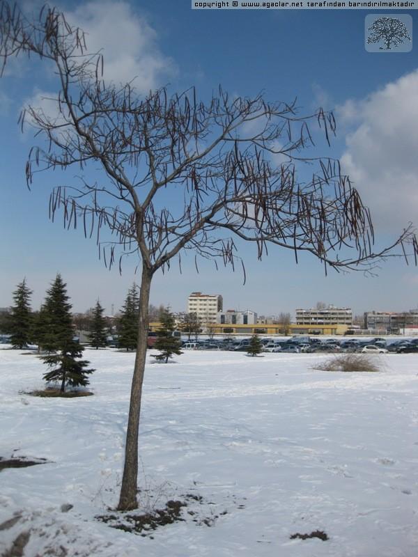 Katalpa Ağacı
