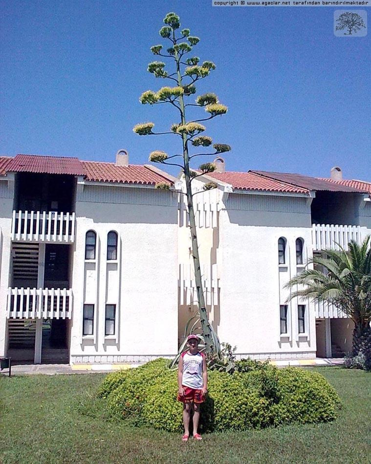 Agave Ağacı