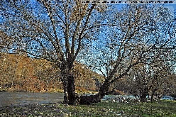 Dere Kenarında Ağaçlar