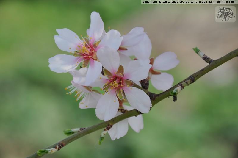 Badem çiçeği