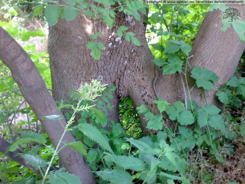 Yılların Ağacı Kollarını Aşka Açmış