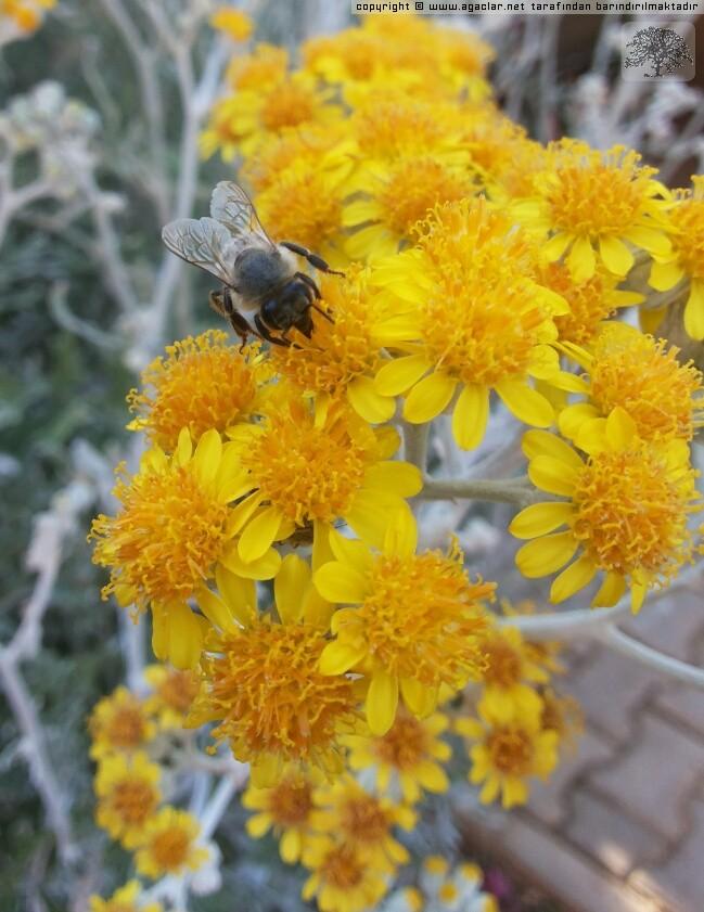 Bee & Cineraria Maritima