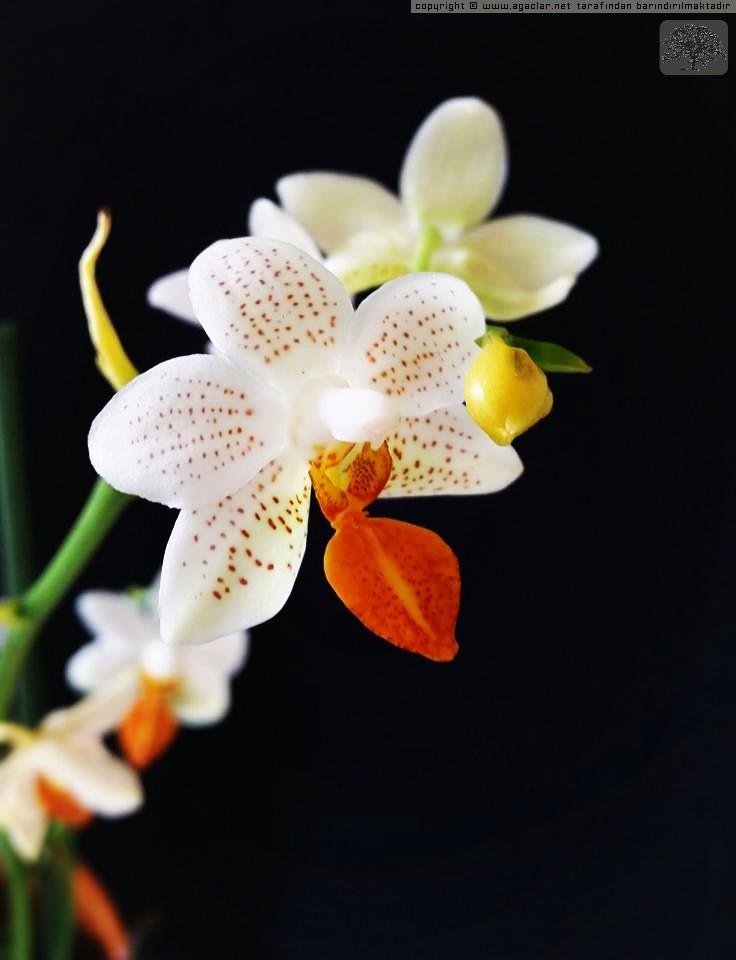Orkide Mini Marc 'holm'