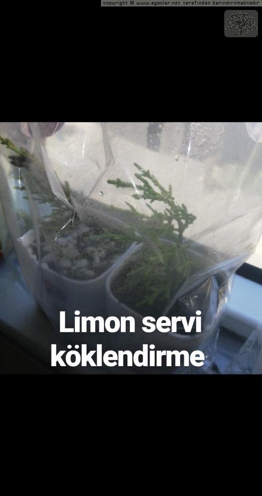 Limon Köklendirme