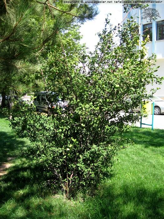 Cydonia japonica 1
