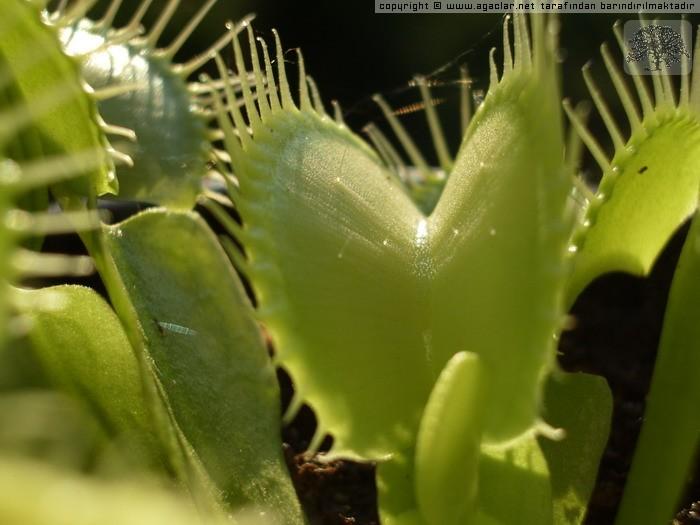Dionaea muscipula (form Virida)