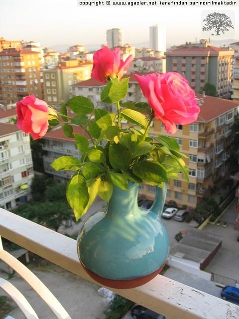 Balkonumun gülleri